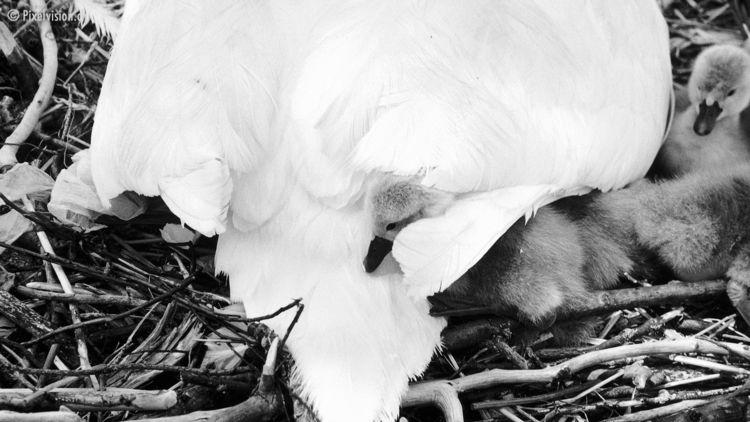 swans Hörnlibuck, 9404 Rorschac - rorschachamberg | ello