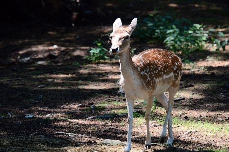 Baby Deer Maine  - maine, deer, wildlife - sarros_photography | ello
