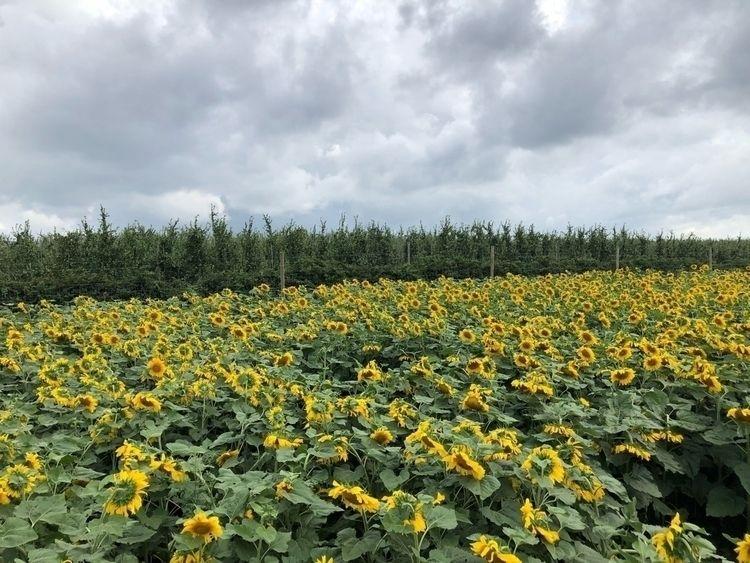 sunflower farm today. sunflower - gigiwrites | ello