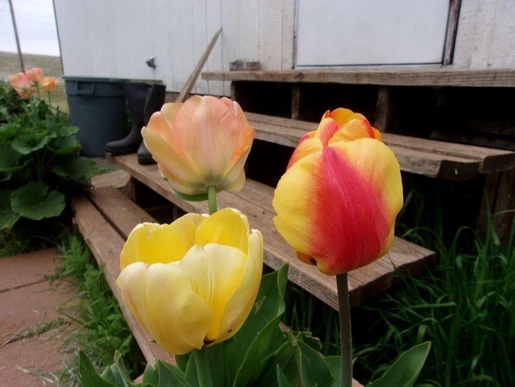 top: Tulips, April 2018; Stream - williamrobertway | ello