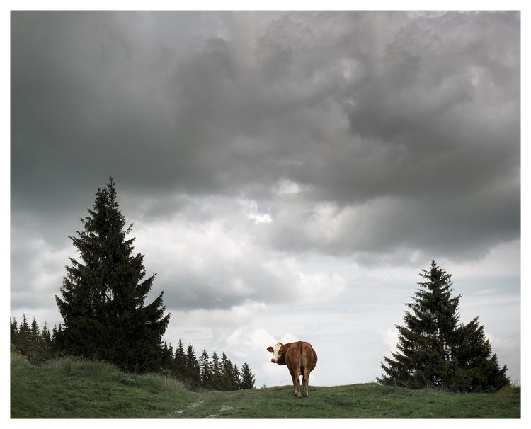 july 2018 - Cow, waiting rain.  - lars_fotograf | ello