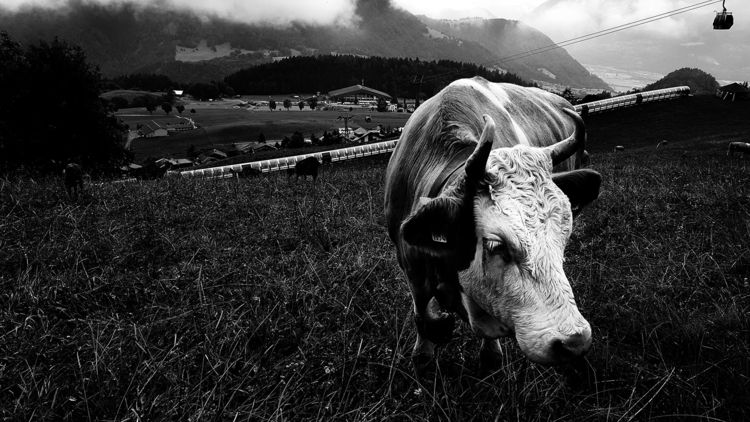 portrait, mountain, animal, cow - lorseau | ello