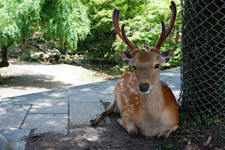 japan, nara, deer, photography - amemarie | ello
