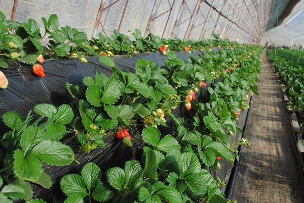 Strawberry special mulch film w - henan-yinfeng | ello