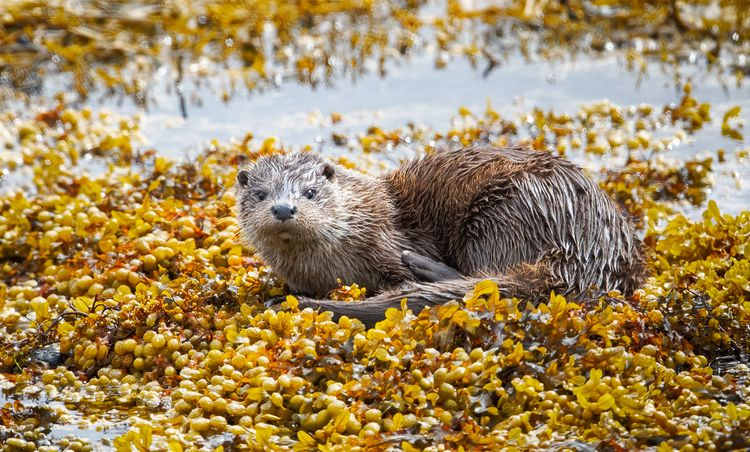 Young wild otter seaweed, Isle  - bradverts | ello