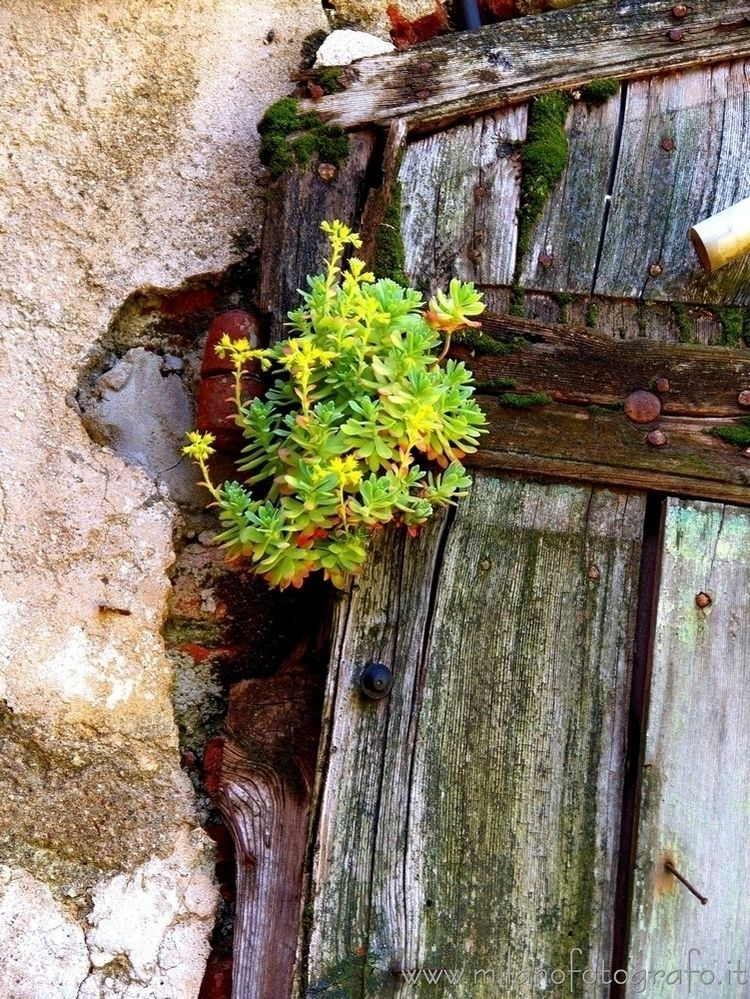 ( ): Sedum plant door Assiano,  - milanofotografo | ello
