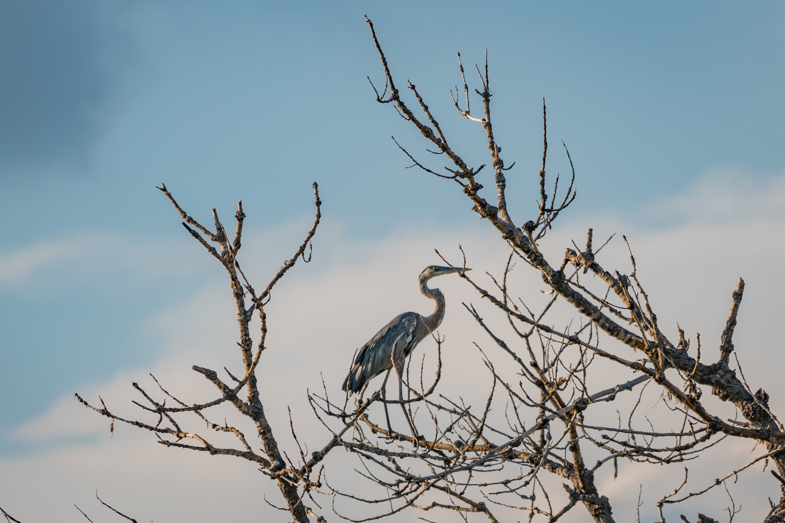 Twigs Legs Great Blue Herons fa - jeffmoreau   ello