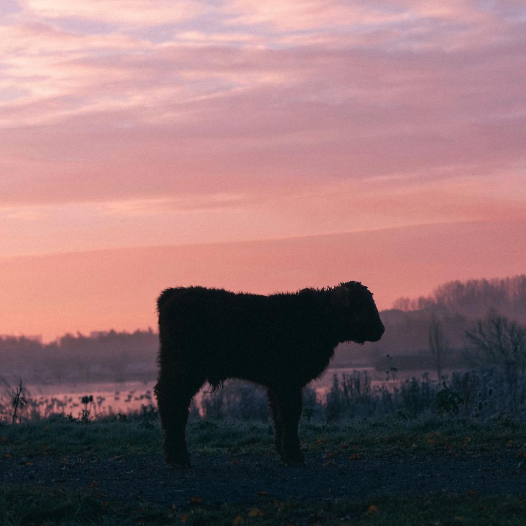 animals, color, cow, calf, winter - klaasphoto   ello