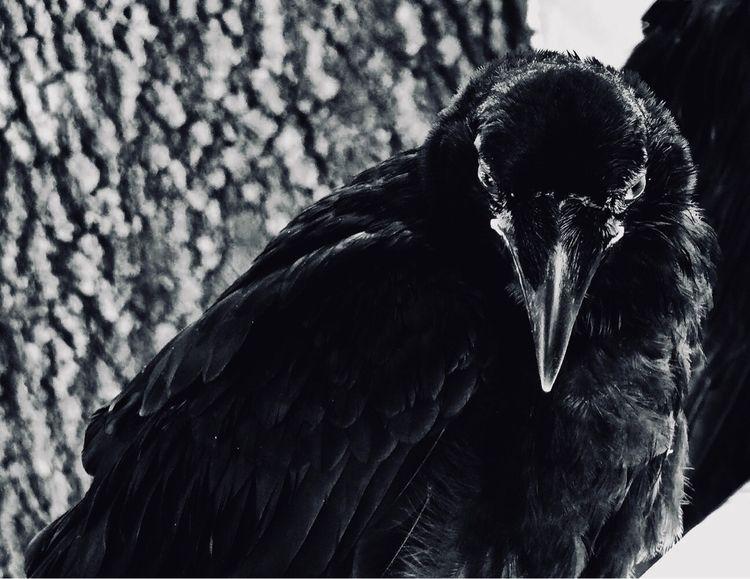 crow, poe, black, white, majestic - artstew | ello