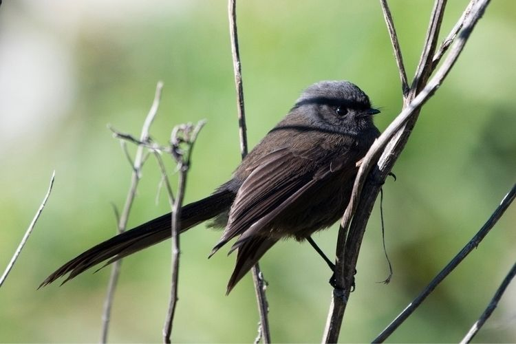 Fantail / Pīwakawaka (black mor - jt_wildlife | ello