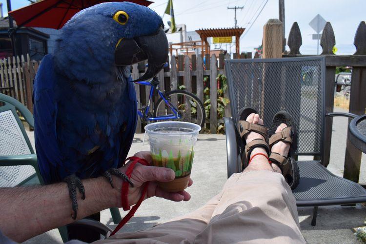 Capping week Hyacinth Macaw Pri - michaelostrogorsky | ello