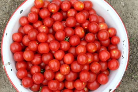 cherry tomatoes salsa picking 2 - ejfern28 | ello