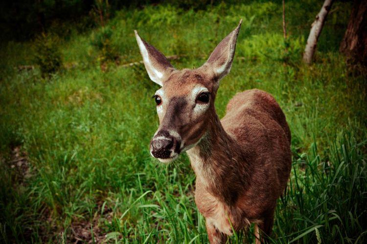 Eager, Forge, NY, 2012 - deer, animal - mlledarcel | ello