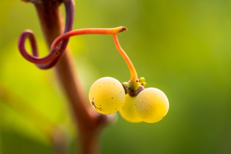 walk vineyard - grapes, photography - fotoblubb | ello