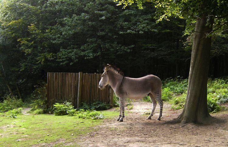 Zeedonk - llamnuds, zebra, donkey - shaundunmall | ello