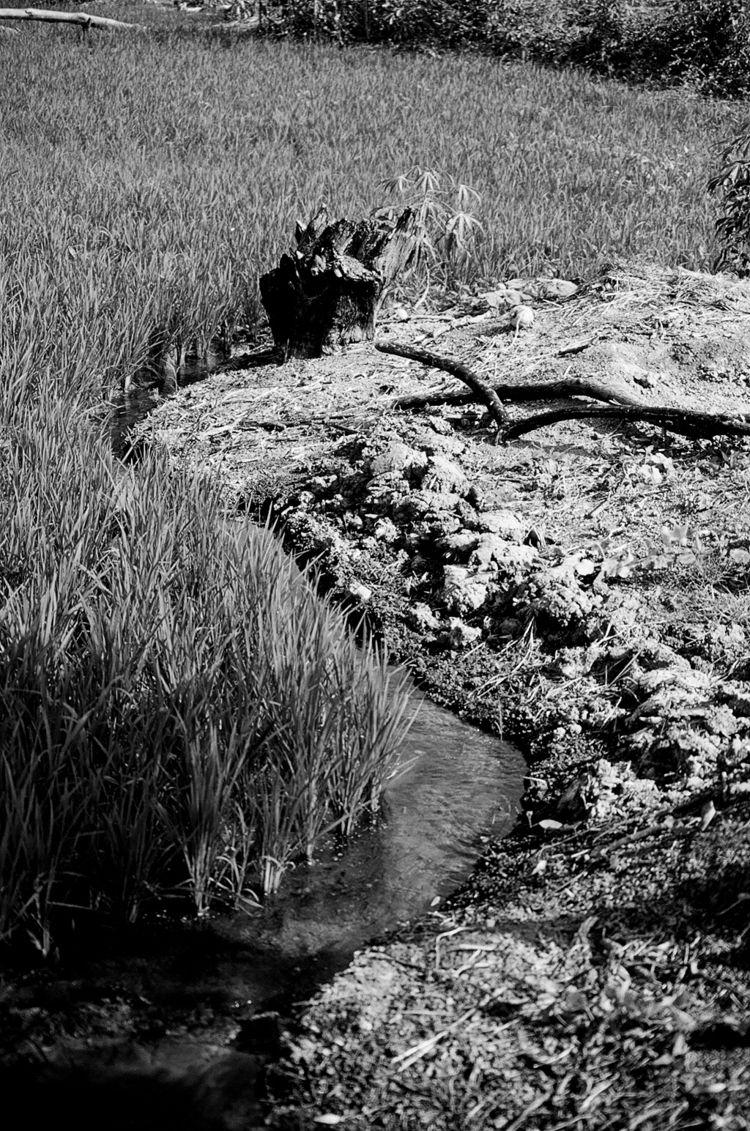 Rice Field - farming, photography - ivop | ello