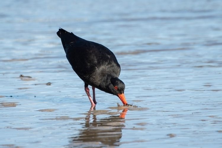 Variable Oystercatcher / Tōrea  - jt_wildlife | ello