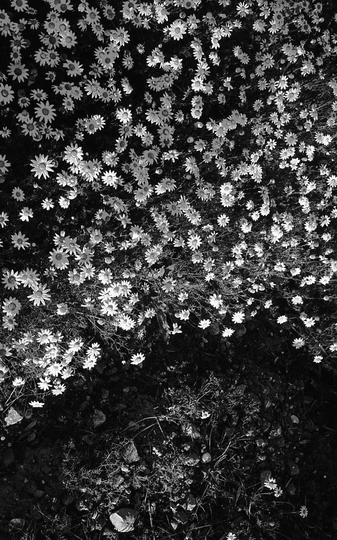 cruel fool grave growing daisie - simoesimao | ello