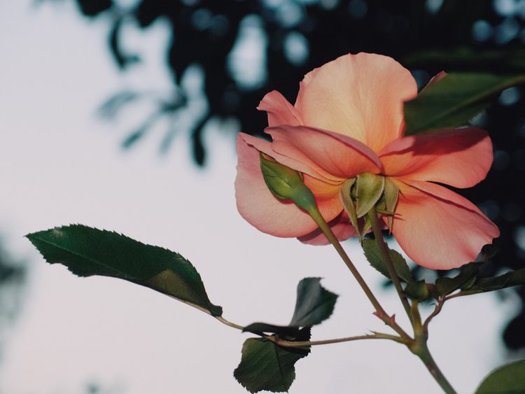 Evening rose - andreigrigorev | ello