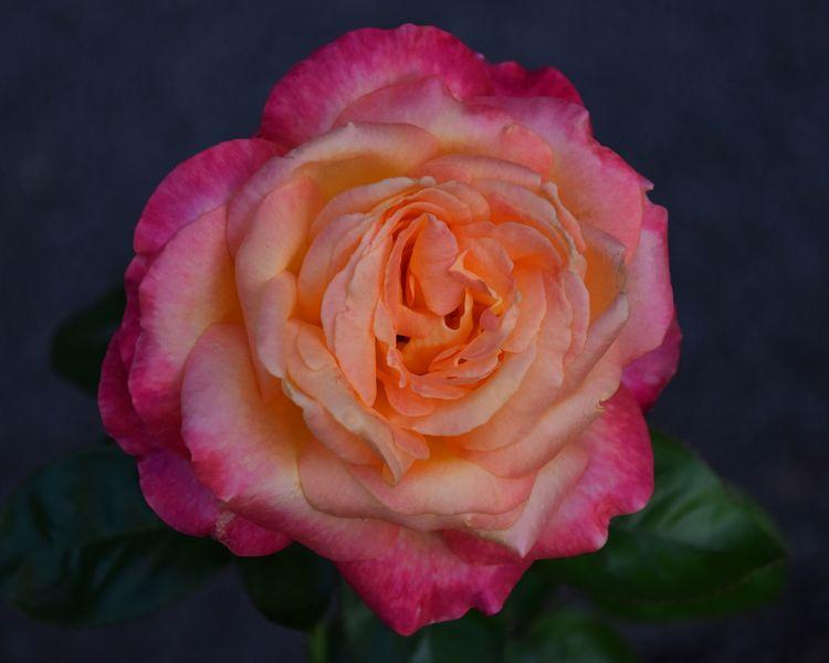 Rose - photography, flower, flowers - chetkresiak | ello