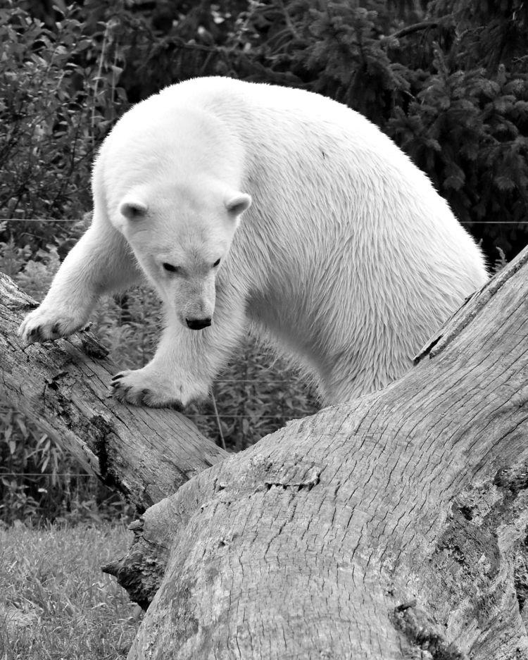 Polar bear - photography, blackandwhite - chetkresiak | ello