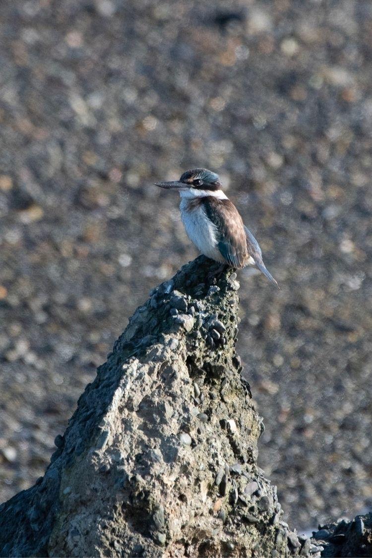 Sacred Kingfisher / Kōtare Todi - jt_wildlife | ello