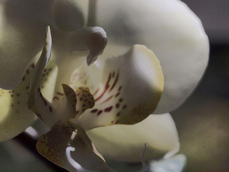 Orchid (2010 - orchid, flower, soft - phil_levene   ello