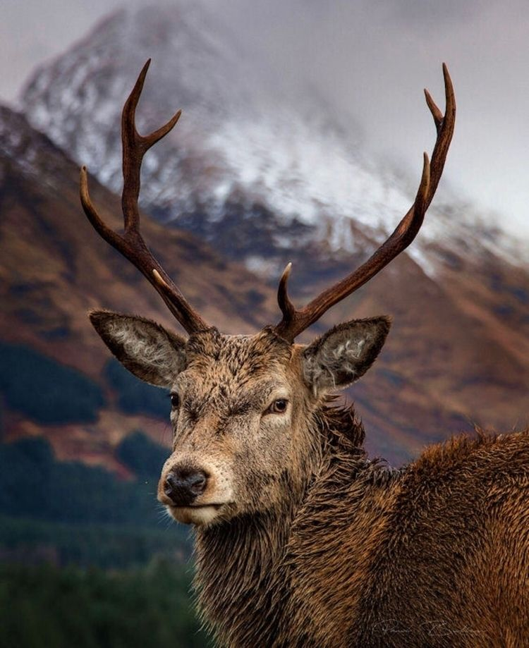 Highland stags Etive Road, Glen - paulbullen | ello