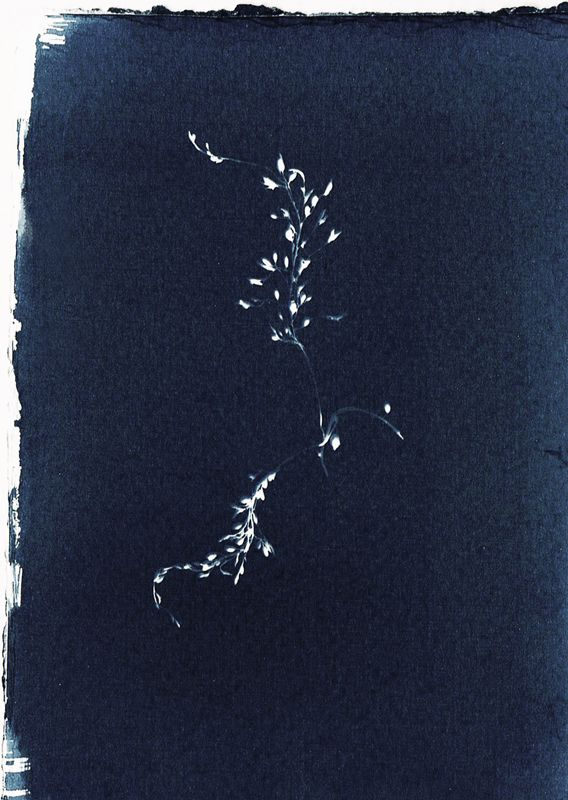 Toned cyanotype sweet seaweed s - christinamriley | ello
