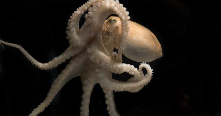 Octopuses party drugs science?  - bonniegrrl | ello