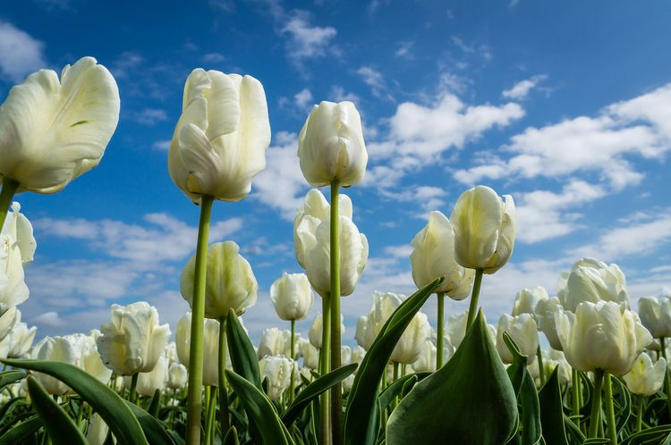 Daily Tulip – News World Monday - robert-mcangus | ello
