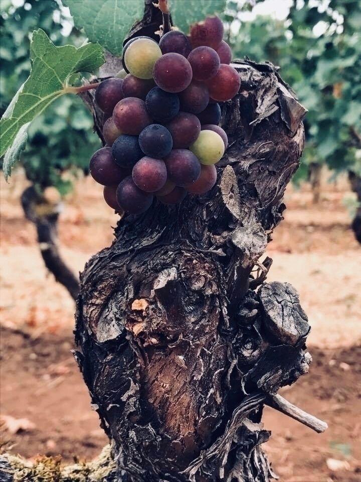Noir grapes. vines planted year - ellie1117 | ello