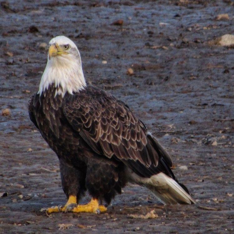 baldeagle, eagle, wildlife, tnwildlife - caitlennshots | ello