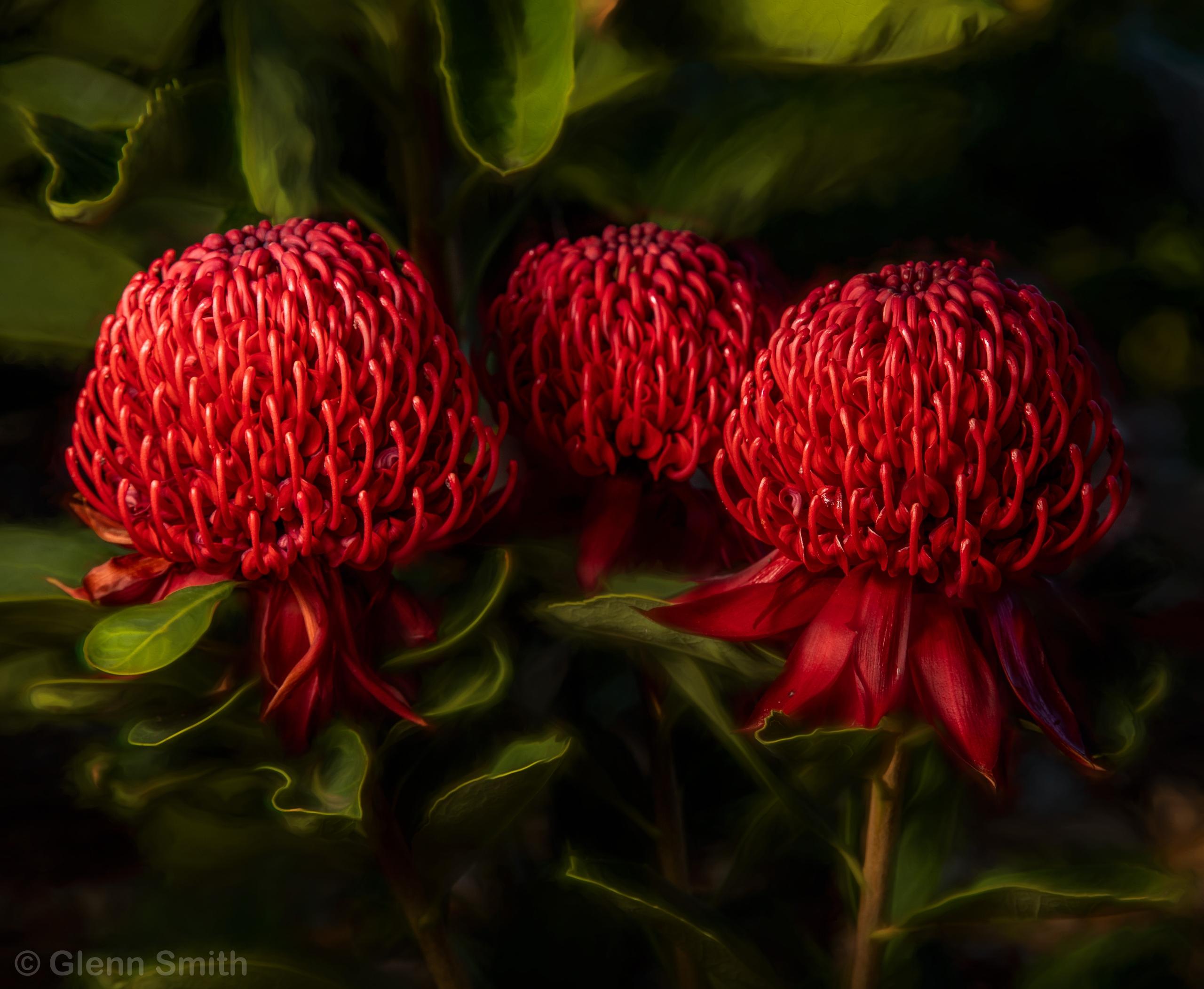 Red Waratah full flower Austral - glenn_smith | ello