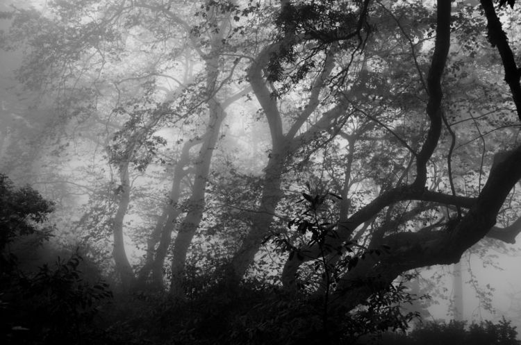 woods, trees, forest, fog, blackwhite - ydoron1 | ello