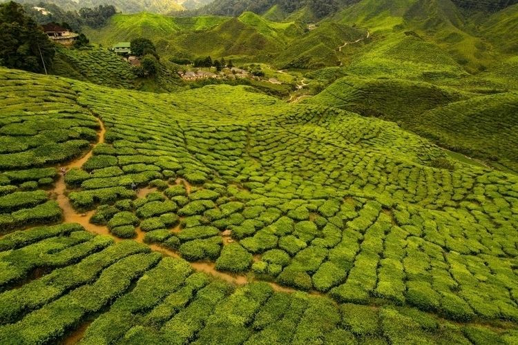 beautiful Cameron Highlands - mertd | ello