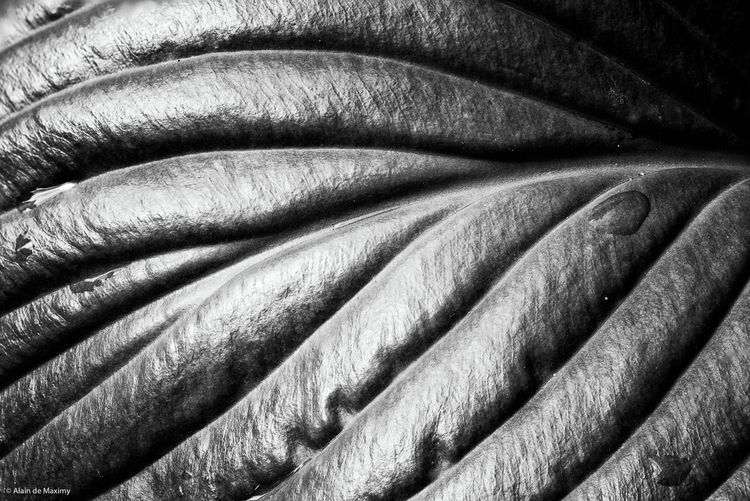 Detail green Hosta leaf rain dr - maximy   ello