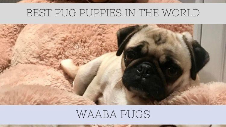 Waabapugs Puppies Sale | Waaba  - waabapugs | ello