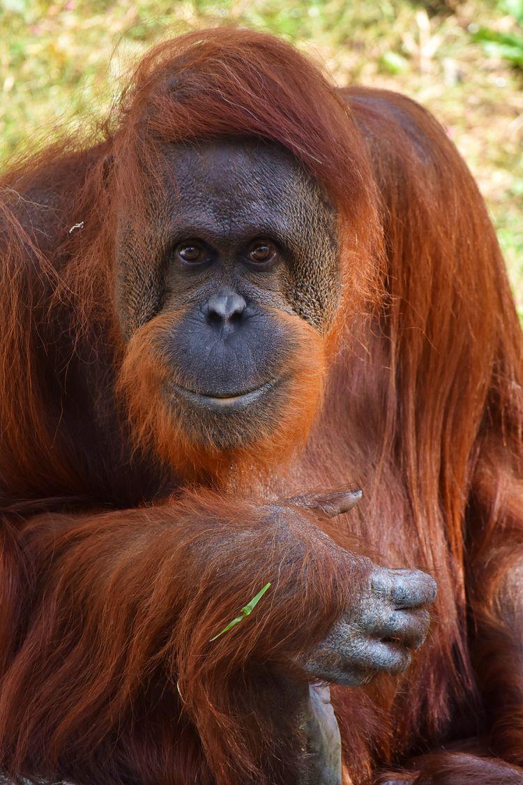 Orangutan - orangutan, orangutang - chetkresiak | ello