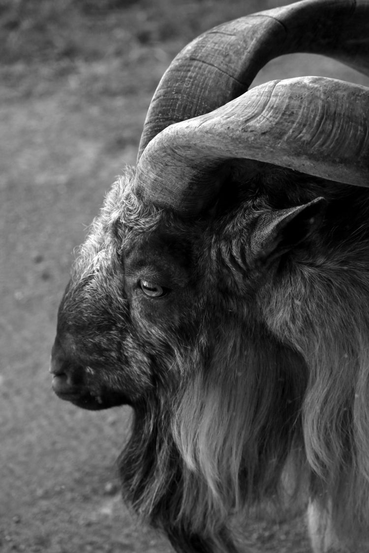 Markhor goat - animals, photography - chetkresiak | ello