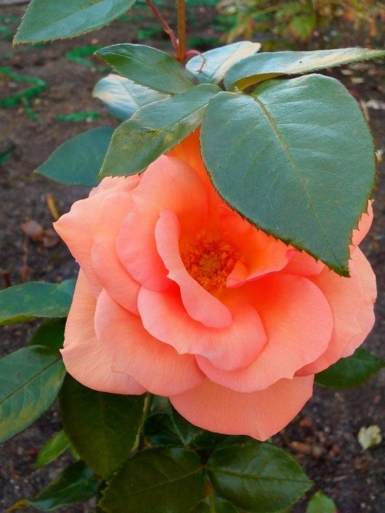 beauty nature. Rose / Красота п - igenvoicov | ello