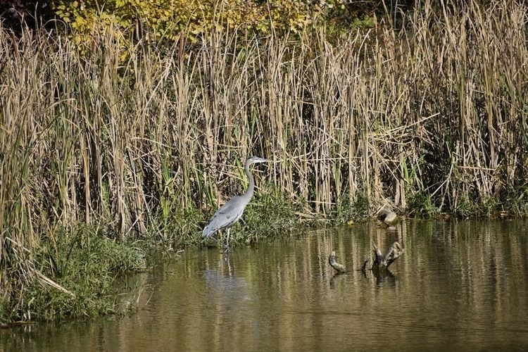 Great Blue Heron - nature, outdoors - pictorific | ello