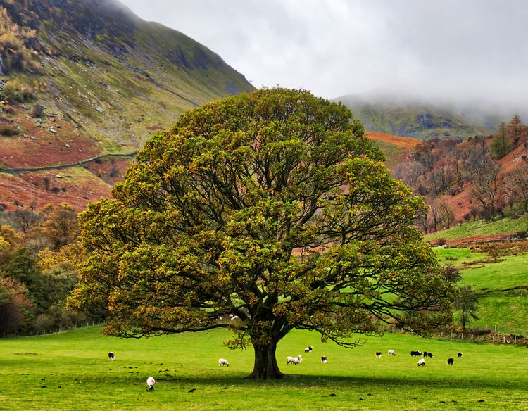 Tree sheep, Ullswater - Sheep g - neilhoward | ello