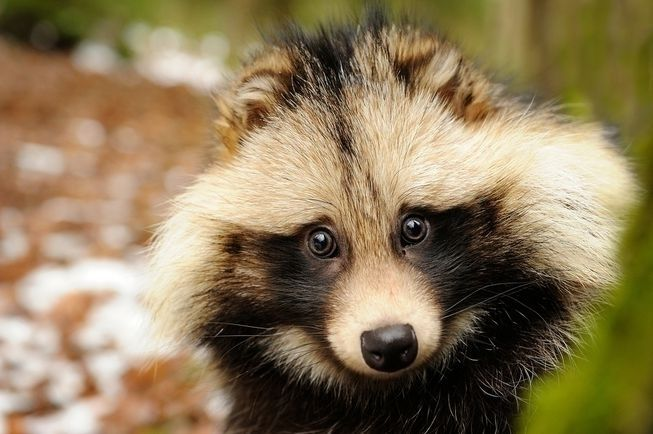 Equal time raccoon dog) favorit - ccruzme | ello