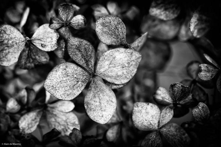 Black white closeup dry Hydrang - maximy | ello