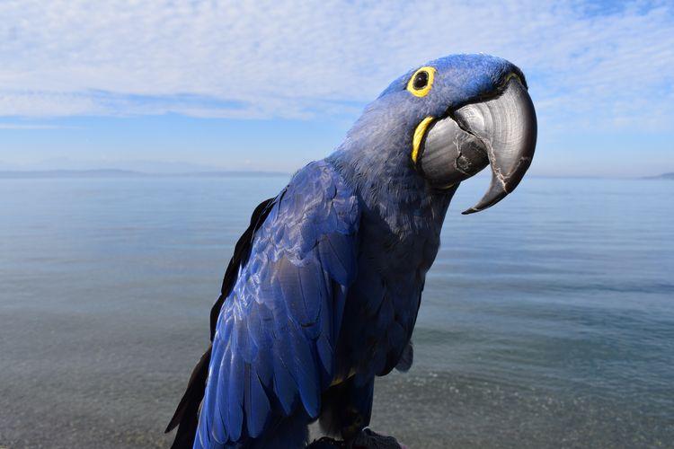 Portrait Parrot. Hyacinth Macaw - michaelostrogorsky | ello