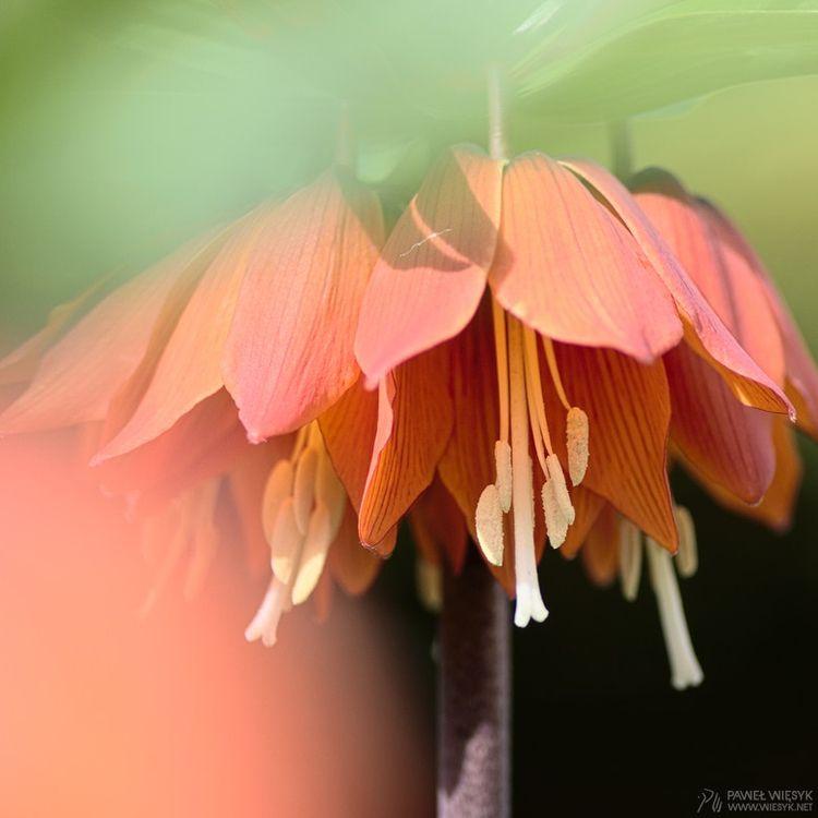 Fritillaria Imperialis (Crown I - pawelwiesyk | ello
