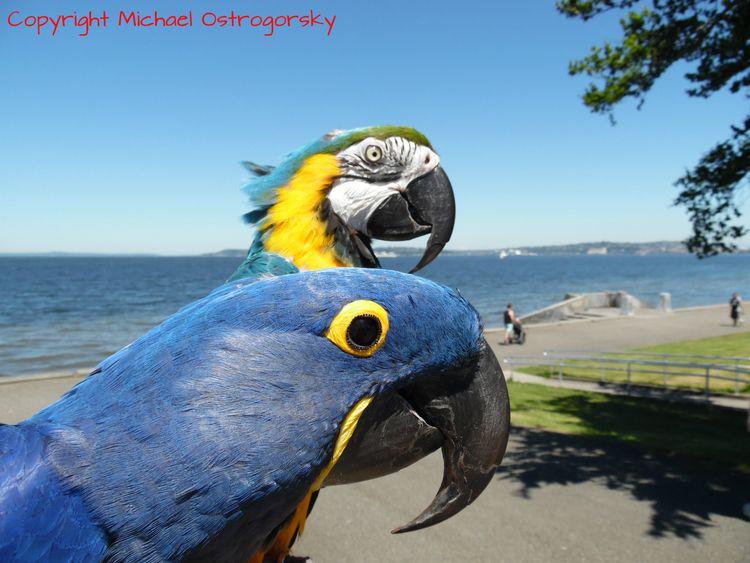 Hyacinth Macaw Princess Tara Bl - michaelostrogorsky | ello