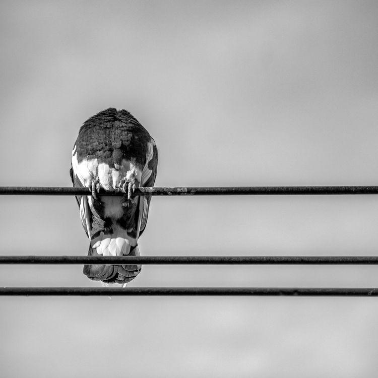 Pigeon Sleepy Hollow - streetphoto - jeff_day | ello