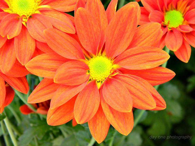 Fire Orange Mums mum show. Phot - fredasvoice | ello